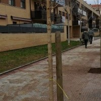 Finaliza la sustitución de las moreras en la Calle Antonio Larrea